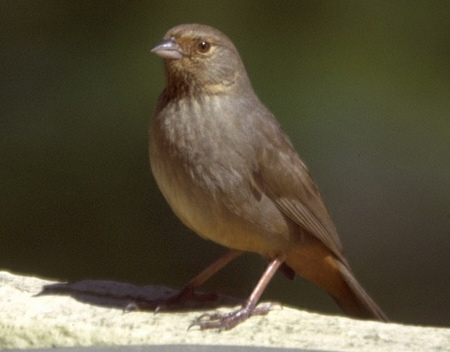 - Bird Study Guide - California Towhee